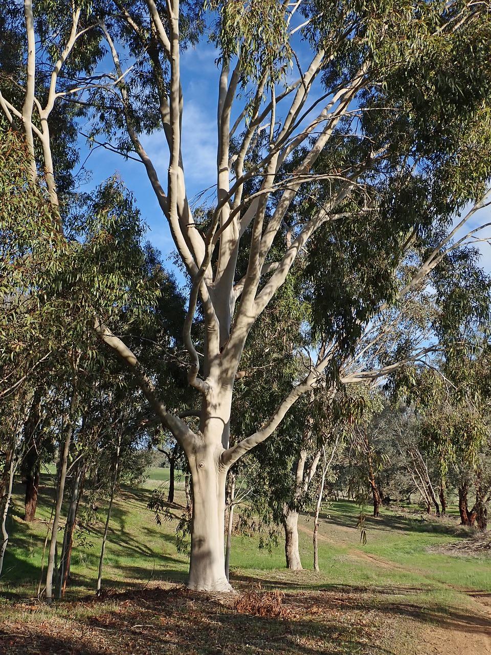 Baum Eukalyptus